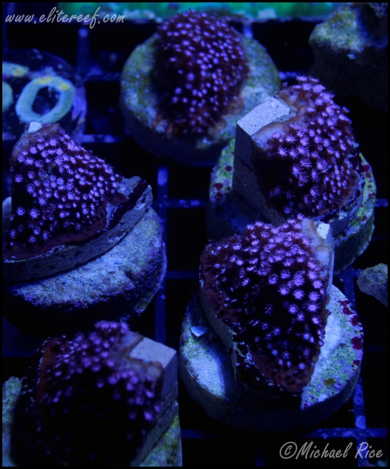 elite_reef_coral_DSC9936.JPG