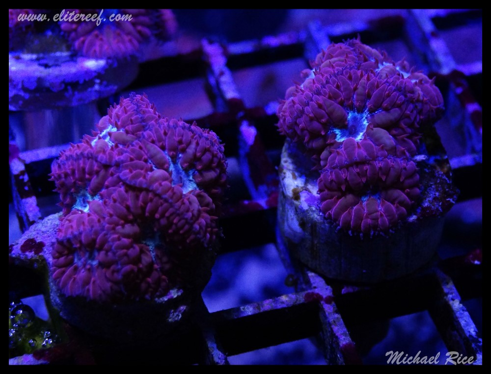 elite_reef_frags_DSC1128.JPG