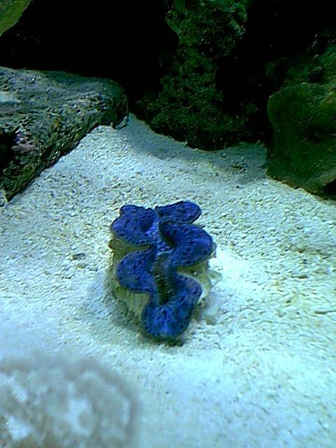 blue maxima