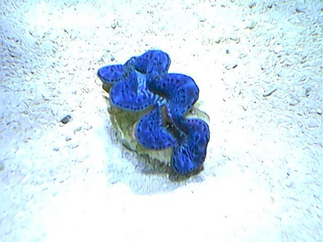 blue maxima-2