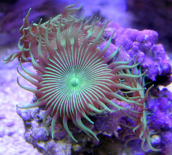 buttonpolyps
