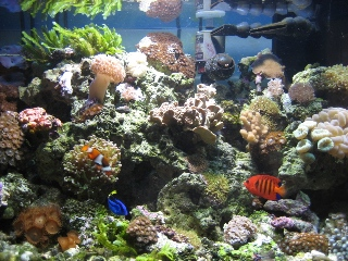 AZCorlGuy's 60g Reef