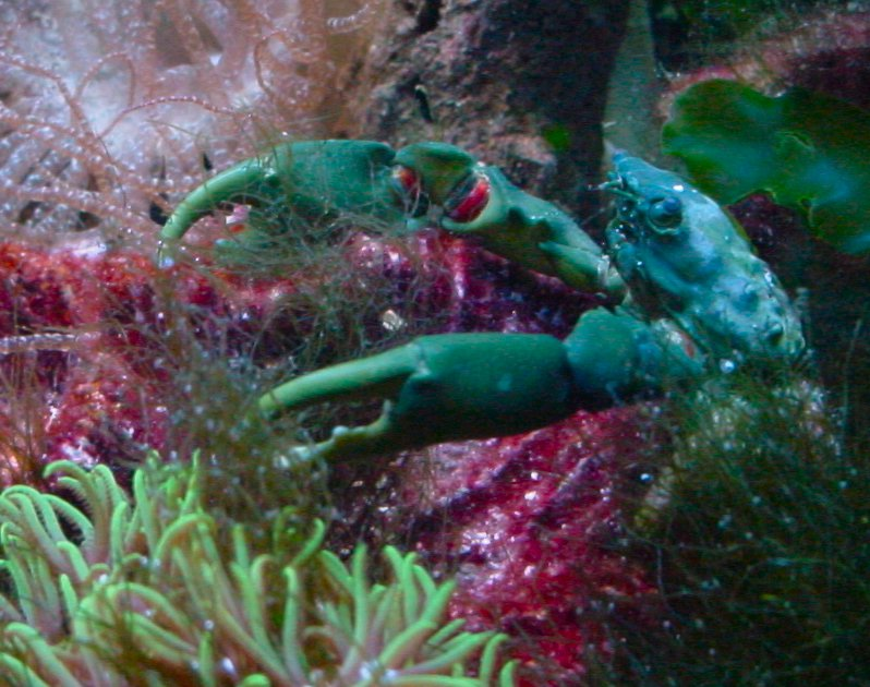 Emerald Mithrax crab