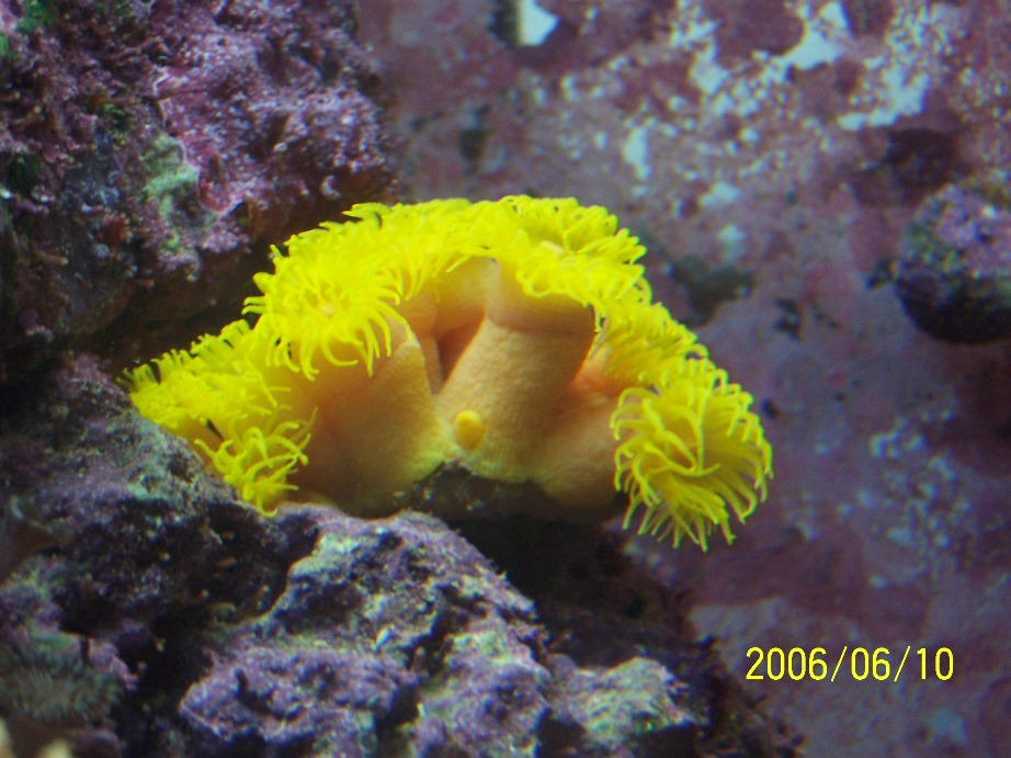 Yellow sun polyps