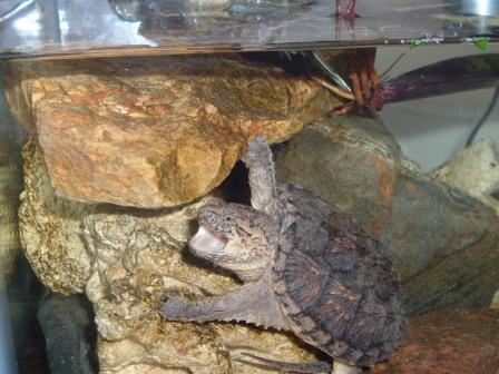 My snapping turtle