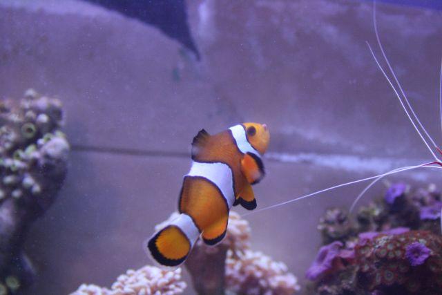 Ocellaris species or False Percula Clownfish
