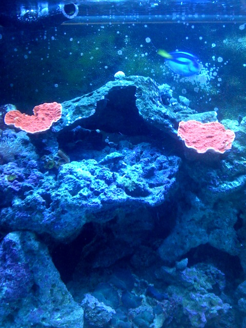 First Hard Coral (Orange Plate Montipora )