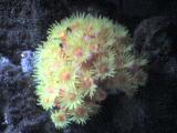 Sunburst Polyps