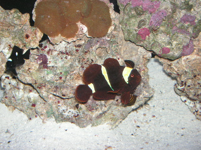 gold banded maroon clown