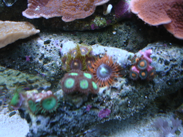 My zoa's and polyps...