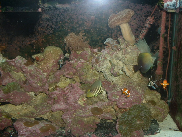 Ocellaris Clown and Sailfin tang
