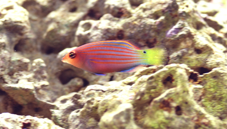 Pregnant Six Line Wrasse