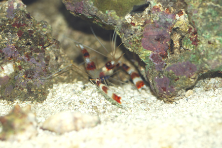 Coral Banded Shrimp looking for Wrasse eggs