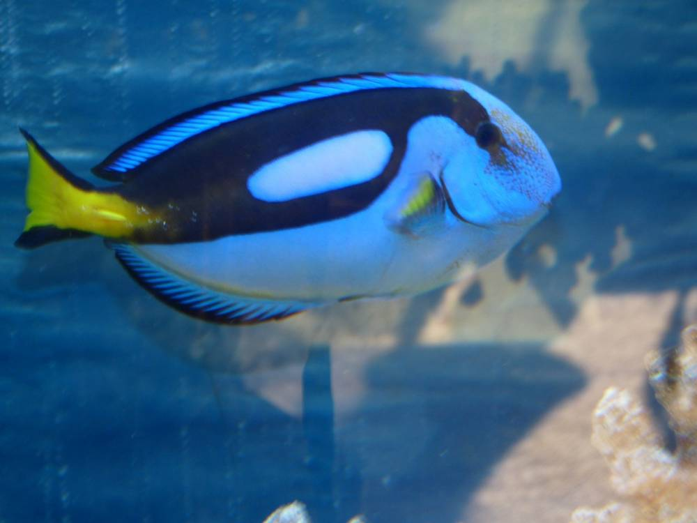Blue tang or Dory for short
