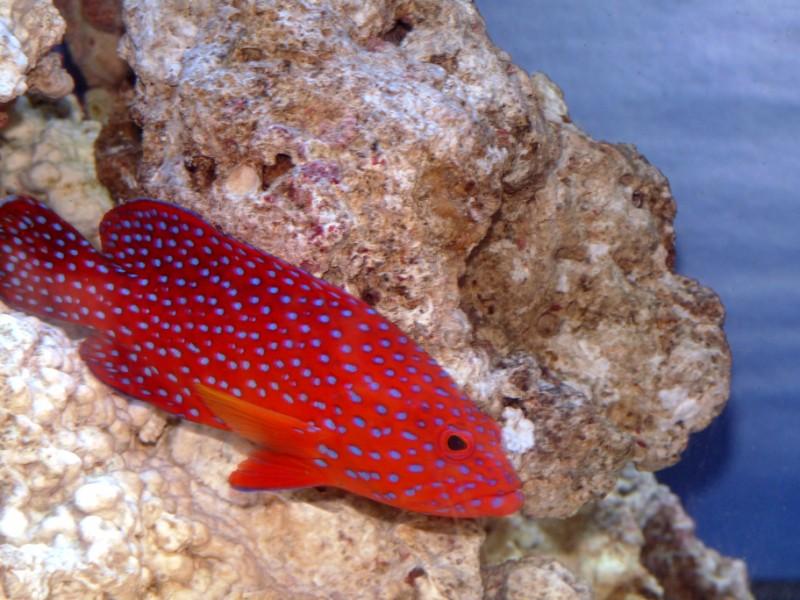 Miniatus grouper - best photo yet