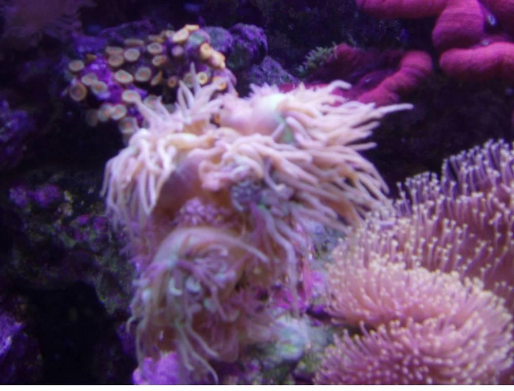 Whisker Coral