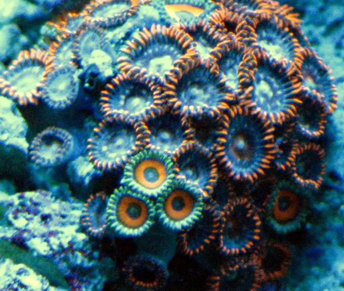Zoas under actinic lighting