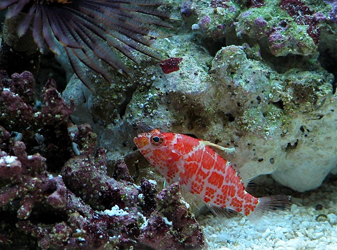 Red Blotched Perchlet