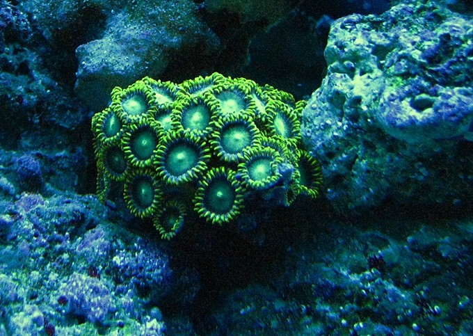 Green zoas under actinic lights