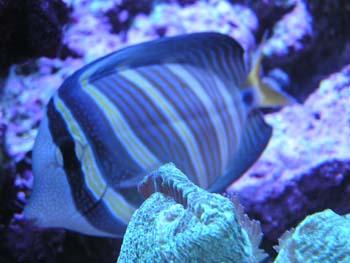 Sailfin veliferum