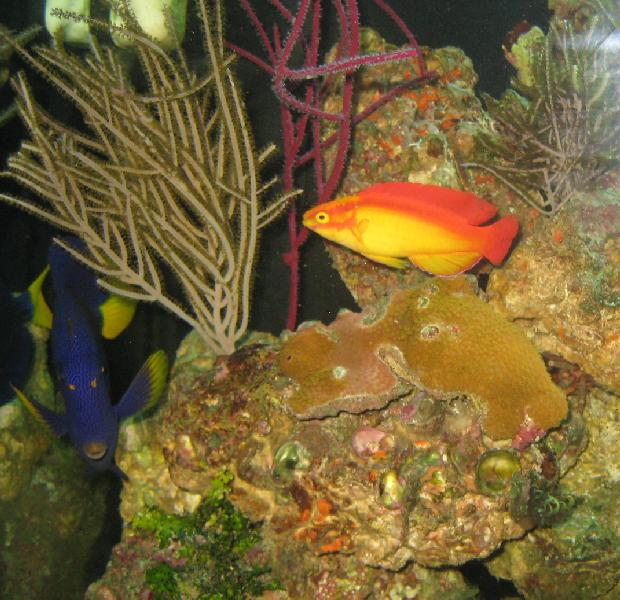 Hawaiian Flame Wrasse