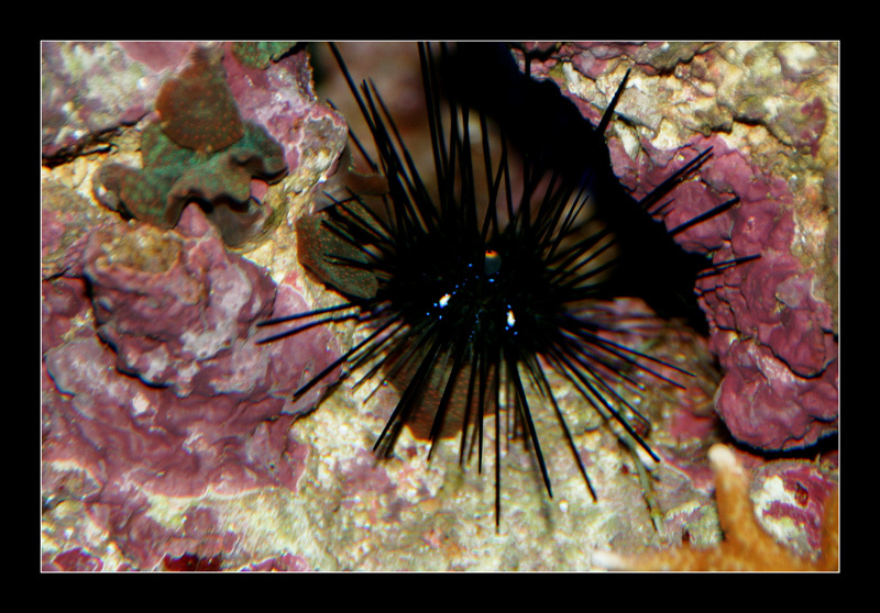 Black Long Spine Urchin