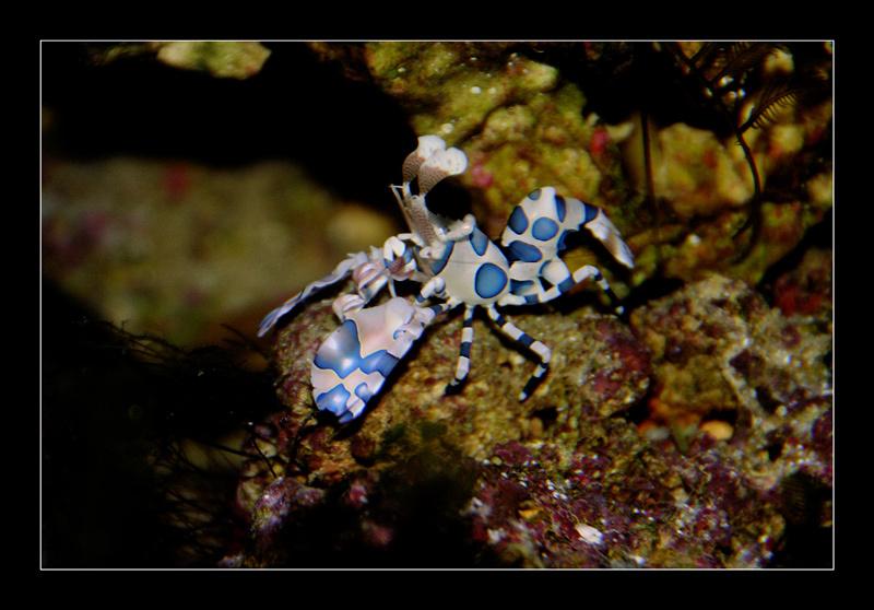 Hymenocera elegans, harlequin shrimp