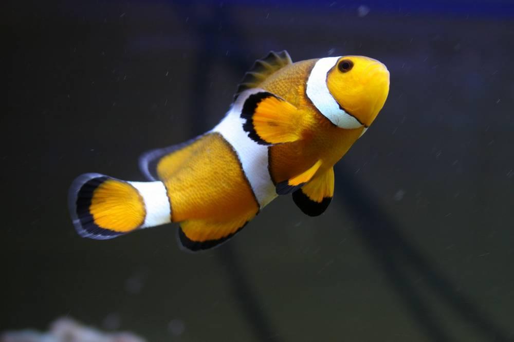 Oscar the clownfish