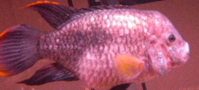 my fish has Dropsy and iam trying to save him. If you know anything that co