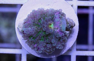 Purple / Green Yuma Ricordea