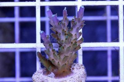 Tri-Color Valida Acropora