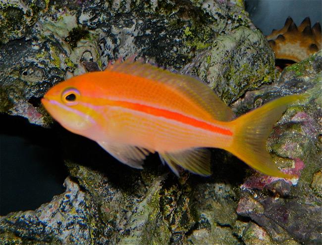 Red Stripe Anthias