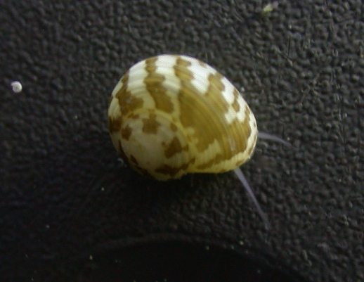 Collonista_snail