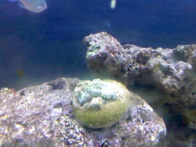 gonipora coral
