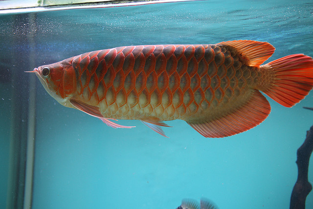 Top quality Chili Red Arowana fish and many others for sale