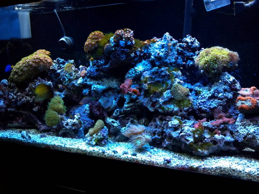 G's 55 gallon reef