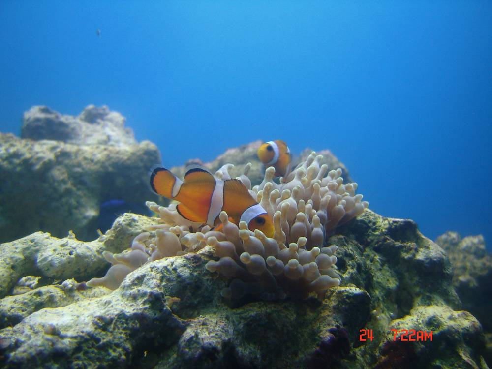 Clownfish in the anemone.