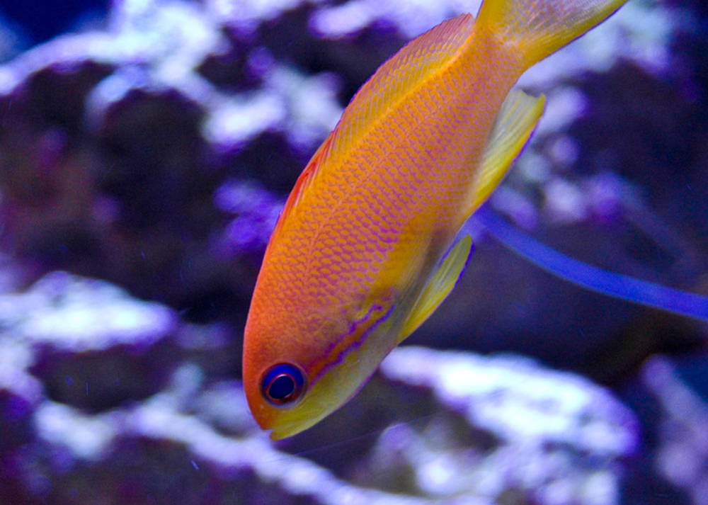 anthias1