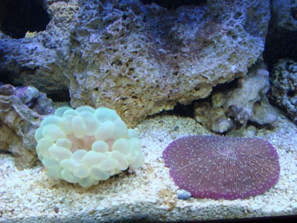 Fungia & Bubble Corals